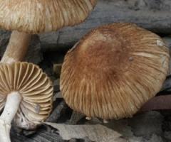 mushrooms729x250