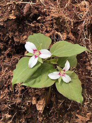 endangered painted trillium